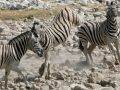 Zebras in Afrika - Wildlife